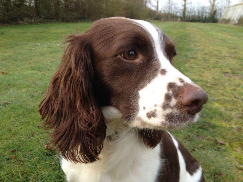 springer-spanial-liver-white-puppies-53197f675283e - Copy